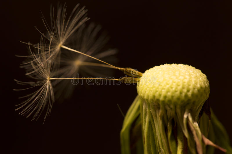 The Detail of the faded Dandelion stock photo
