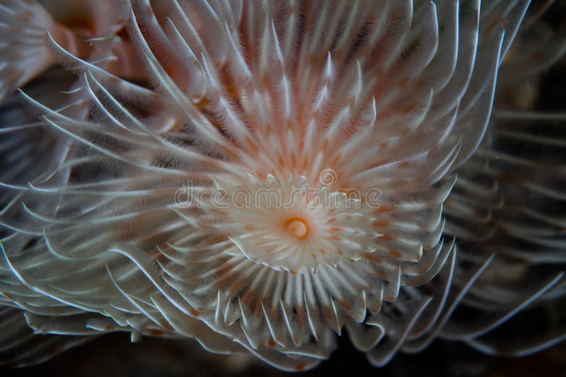 Detail of Feather Duster Worm. Detail of a fragile feather duster worm on a coral reef in Indonesia. This part of the world harbors an extraordinary amount of royalty free stock image
