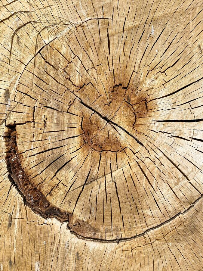 Detail of a felled tree, intended for the timber industry. stock image