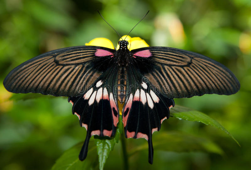 Detail of female great mormon over green vegetable. Detail of female great mormon, Papilio memnon agenor, butterfly perching on pink flower stock photo