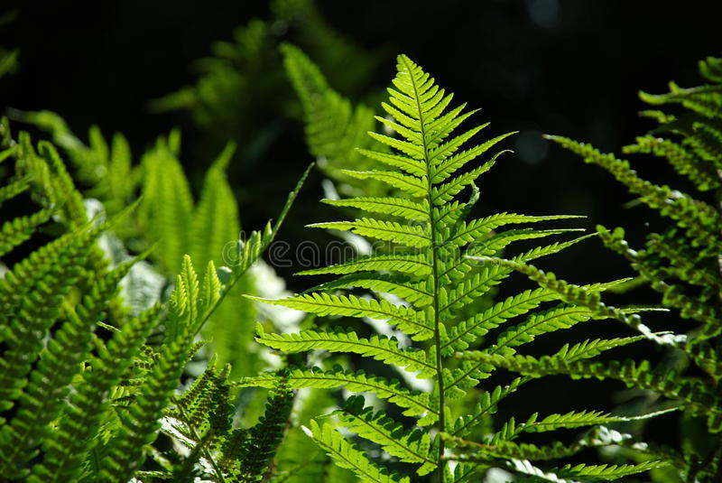 Detail of a fern. A detailed photo of a fern in the forest royalty free stock photos
