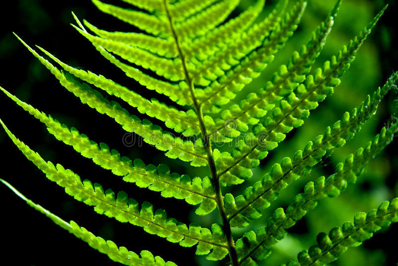 Detail of a fern. A detailed photo of a fern in the forest stock images