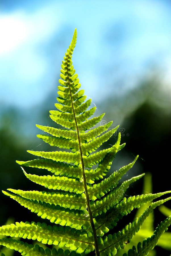 Detail of a fern. A detailed photo of a fern in the forest stock photos