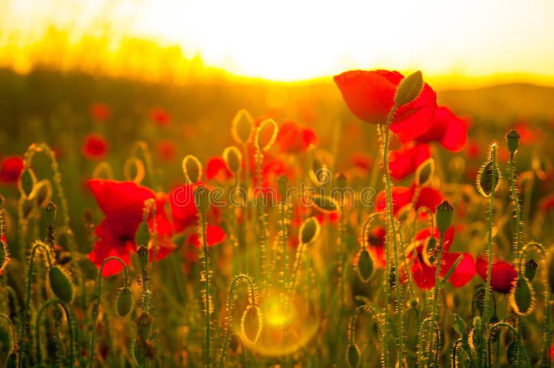 Detail of field of poppies in sunset in a shallow depth of field. Sunset harmony feeling view good as background for stock photography