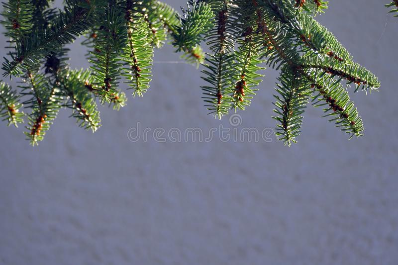 Detail of fir branches, typical of Christmas. Against the light, coniferous, spruce, twig, evergreen, young, lush, nature, plant, forest, botanical, botany royalty free stock images