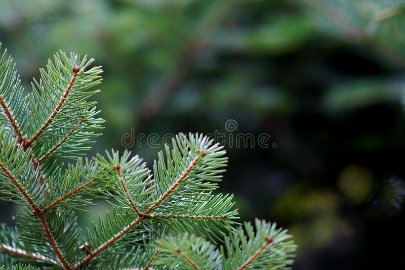 Detail of fir branches, typical of Christmas. Against the light, coniferous, spruce, twig, evergreen, young, lush, nature, plant, forest, botanical, botany stock image