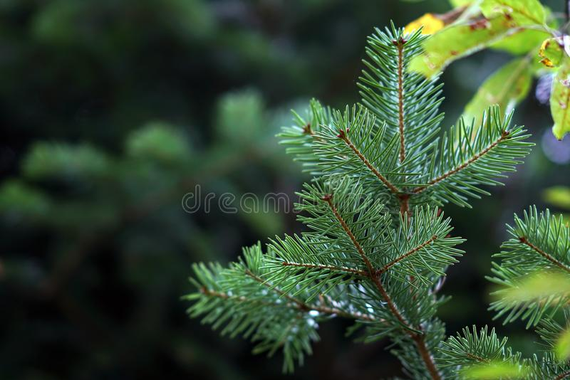 Detail of fir branches, typical of Christmas. Against the light, coniferous, spruce, twig, evergreen, young, lush, nature, plant, forest, botanical, botany stock photography