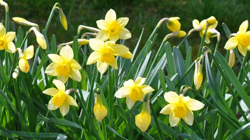 Daffodils. Detail of the first spring daffodils royalty free stock photos