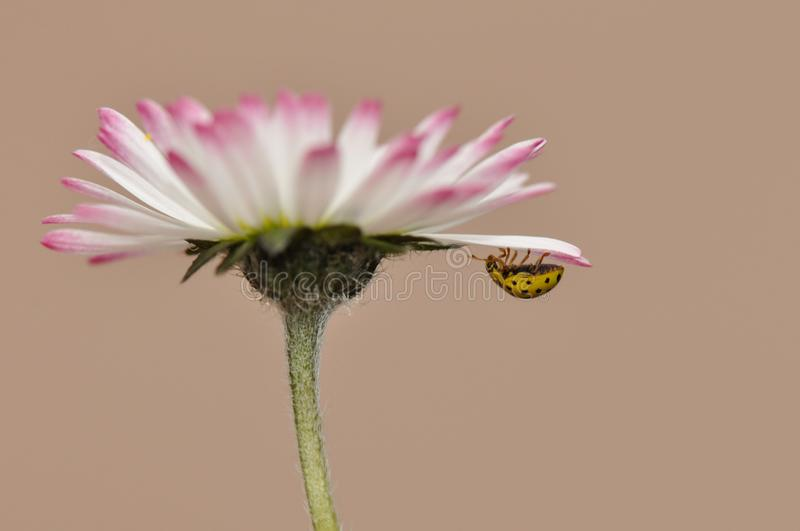 Daisies with ladybug stock images