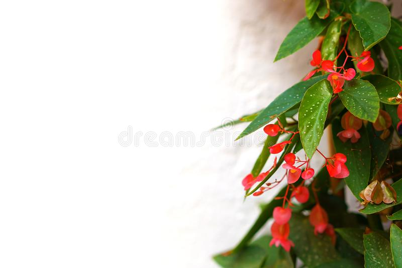 detail of flowered Begonia royalty free stock photo