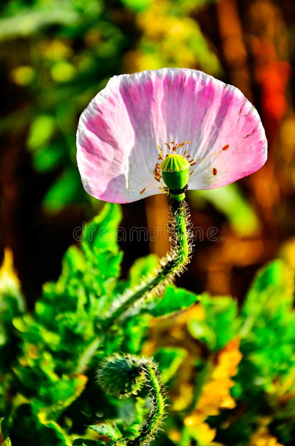 Detail of flowering opium poppy papaver somniferum, pink colored poppy stock photo