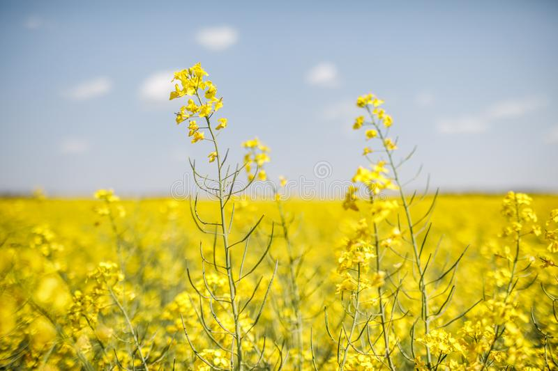 Detail of flowering rapeseed canola or colza in latin Brassica N. Apus, plant for green energy and oil industry, seed on blue sky background royalty free stock images