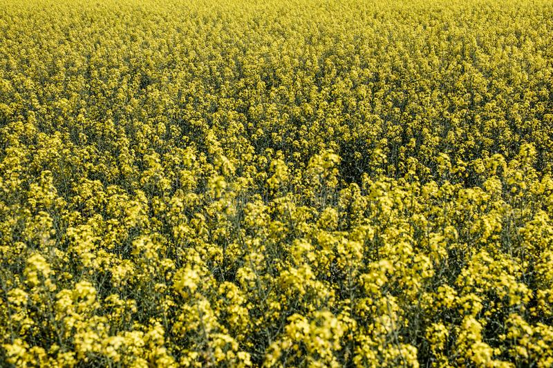 Detail of flowering rapeseed canola or colza in latin Brassica N. Apus, plant for green energy and oil industry, seed on blue sky background royalty free stock photos