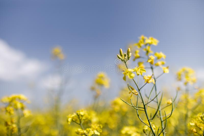 Detail of flowering rapeseed canola or colza in latin Brassica N. Apus, plant for green energy and oil industry, seed on blue sky background stock images