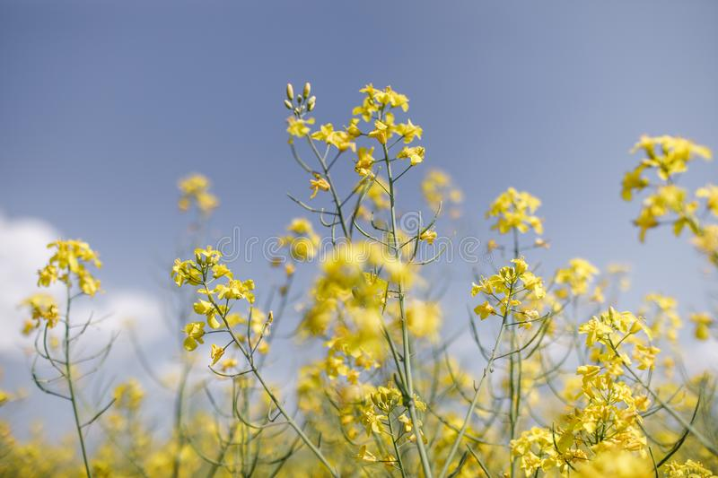 Detail of flowering rapeseed canola or colza in latin Brassica N. Apus, plant for green energy and oil industry, seed on blue sky background stock photo