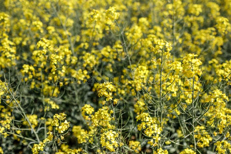 Detail of flowering rapeseed canola or colza in latin Brassica N. Apus, plant for green energy and oil industry, seed on blue sky background royalty free stock photography