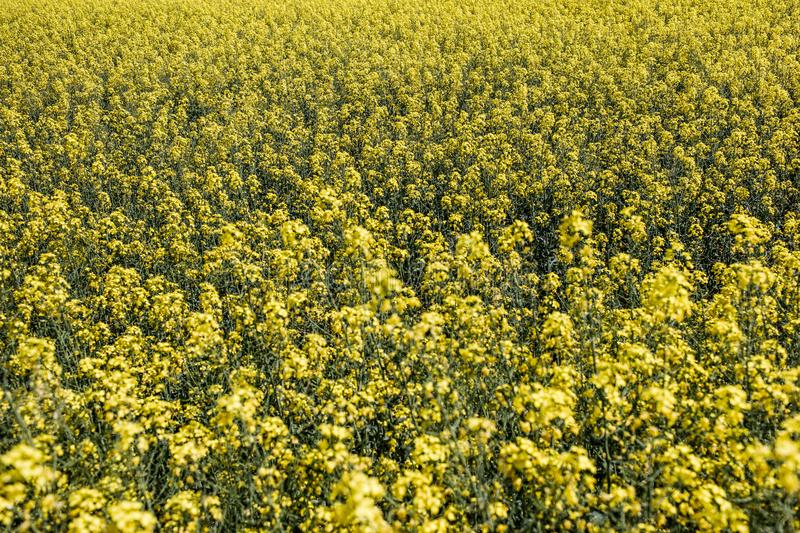 Field of rapeseed with beautiful cloud - plant for green energy. Detail of flowering rapeseed canola or colza in latin Brassica Napus, plant for green energy and royalty free stock photo