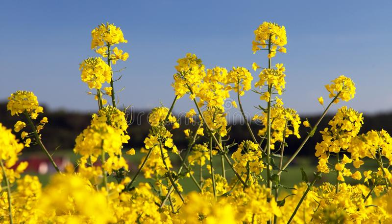 Flowering rapeseed canola or colza. Detail of flowering rapeseed canola or colza in latin Brassica Napus, plant for green energy and oil industry, seed on blue royalty free stock images