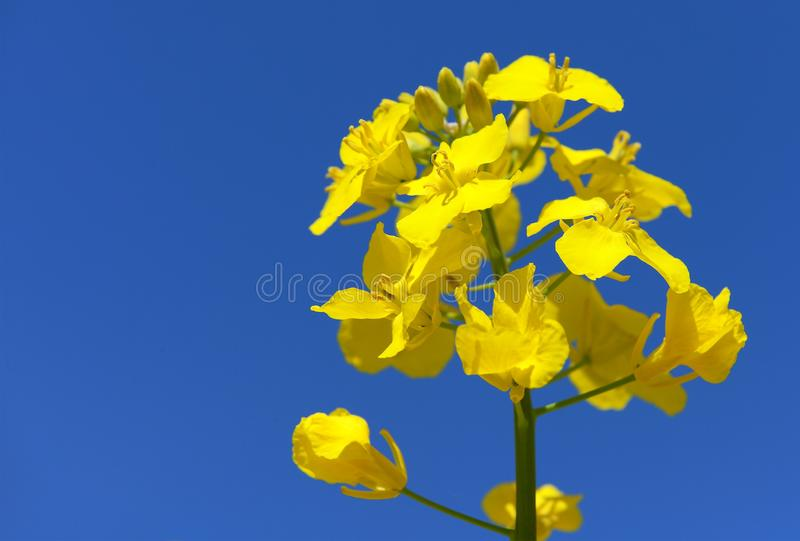 Flowering rapeseed canola or colza. Detail of flowering rapeseed canola or colza in latin Brassica Napus, plant for green energy and oil industry, seed on blue stock photos
