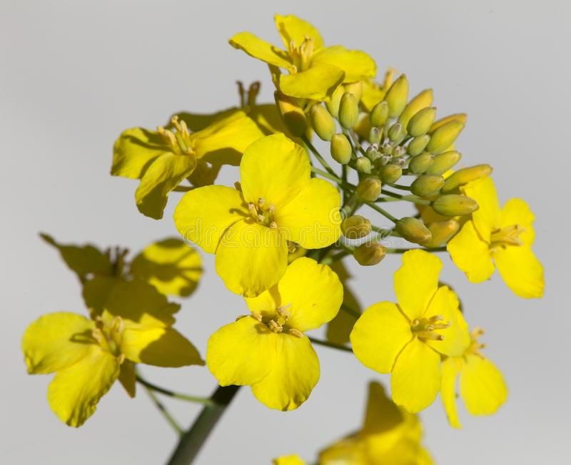 Rapeseed flower on white background. Detail of flowering rapeseed canola or colza in latin Brassica Napus, plant for green energy and oil industry, seed on white royalty free stock photo