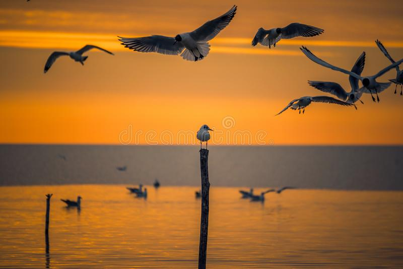 Detail of flying gulls birds above a lone baby gull sitting on a pole stick in the morning at sunrise. Shot in Romania in the springtime stock photo