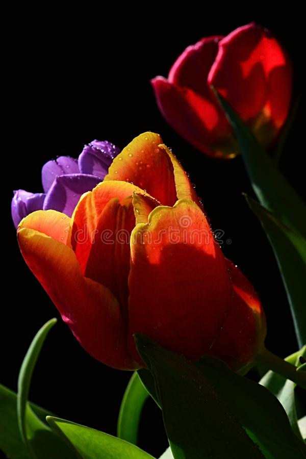 Download Detail Of Fresh Wet Tulip Bouquet With Red, Patchy Orange With Yellow And Violet Tulip Flowers, Black Background Stock Photo - Image: 93589103