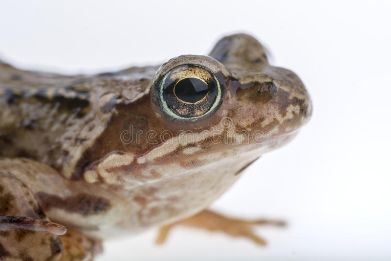 Detail of frog head royalty free stock images