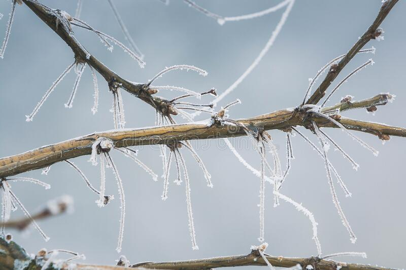 Detail of a frozen branch in winter stock image