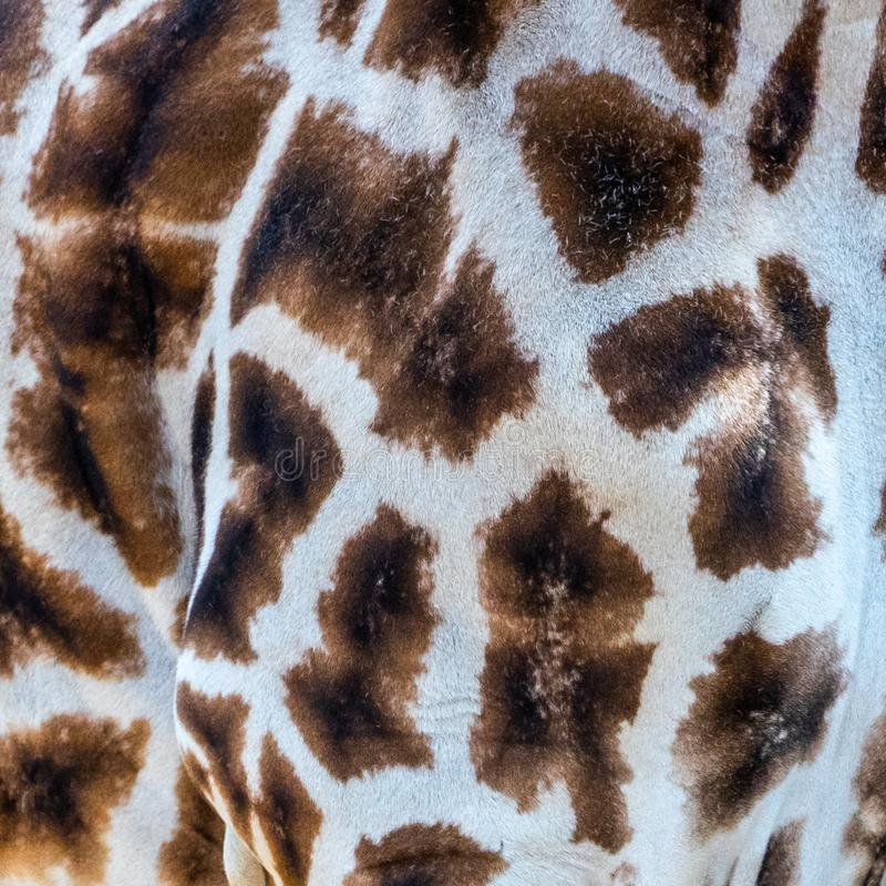Detail of the fur of a Girafe, as background with pattern and texture royalty free stock photos