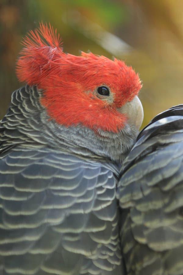 Gang-gang cockatoo royalty free stock photos