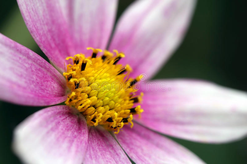 Detail of a Garden Cosmos flower stock image