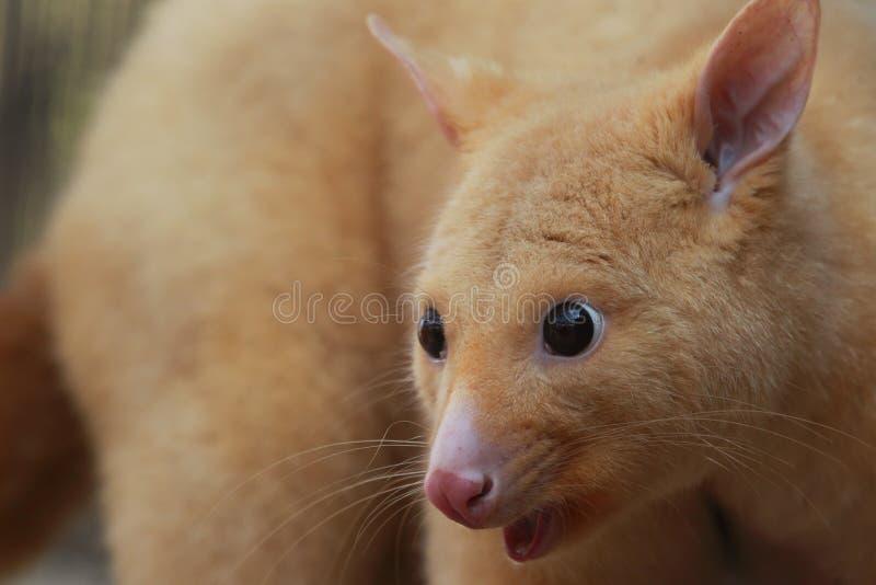 Golden brushtail possum stock images