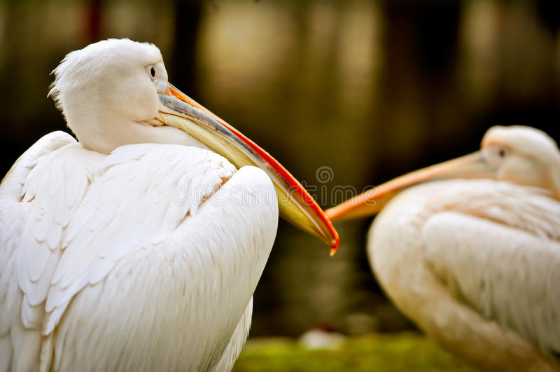Detail of great white pelican (Pelecanus onocrotalus). Heads of two pelicans resting on the grass bank of lake. Detail of great white pelican (Pelecanus royalty free stock image