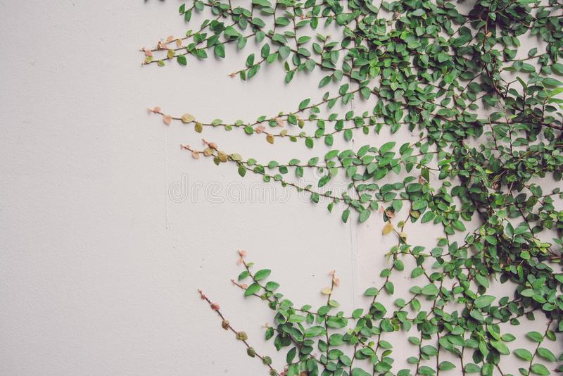 Detail of green climbing plants on wall background - Natural out royalty free stock image