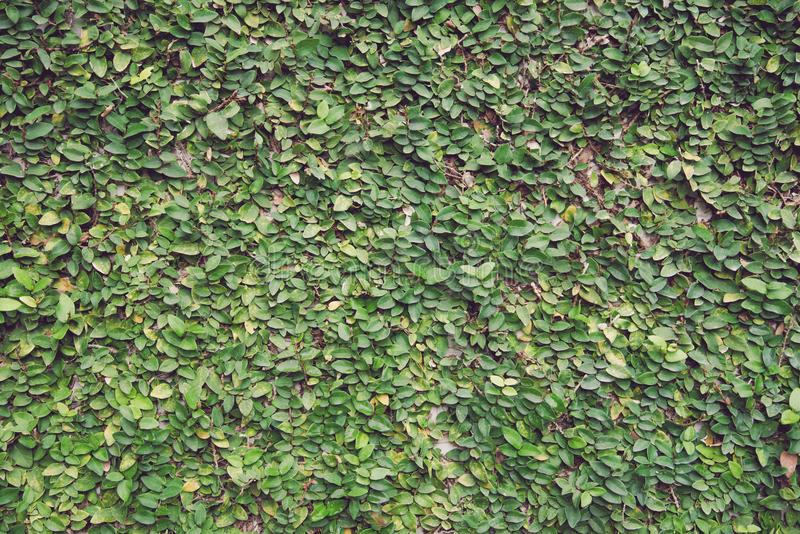 Detail of green climbing plants on wall background - Natural out royalty free stock photography