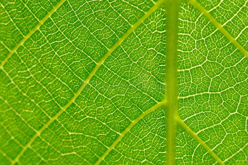 Detail of green leaf texture royalty free stock image