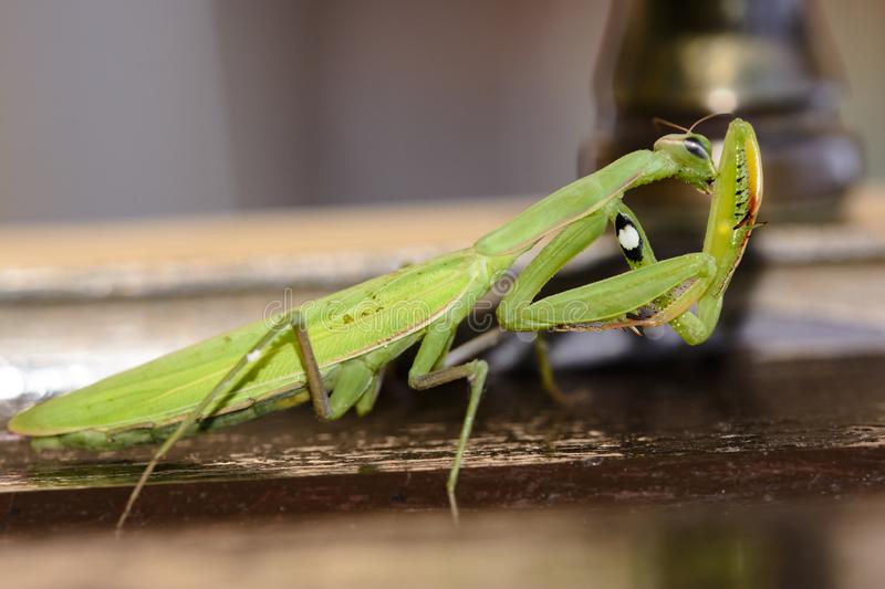 Detail of green mantidae staying on brown wood royalty free stock photo