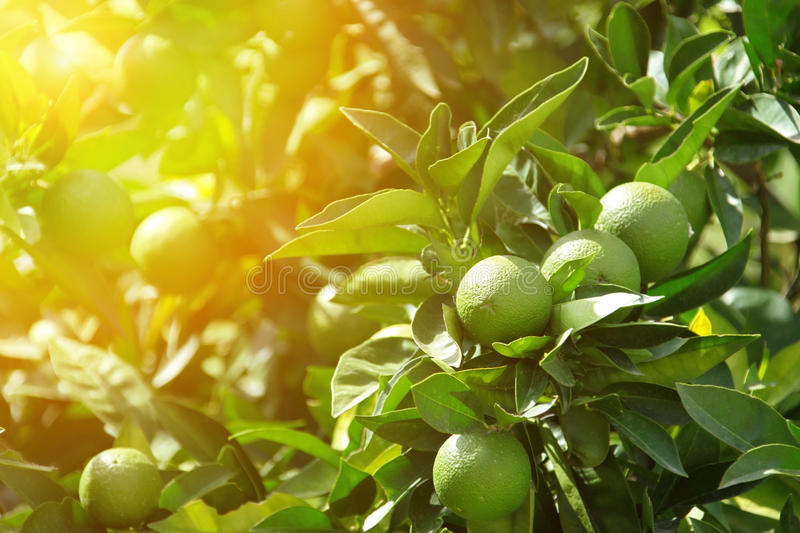 Detail of green oranges in orchard stock images