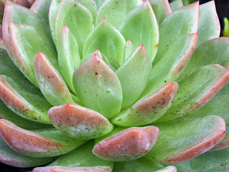 Detail of Green and Pink Succulent Cactus Leaves stock photography