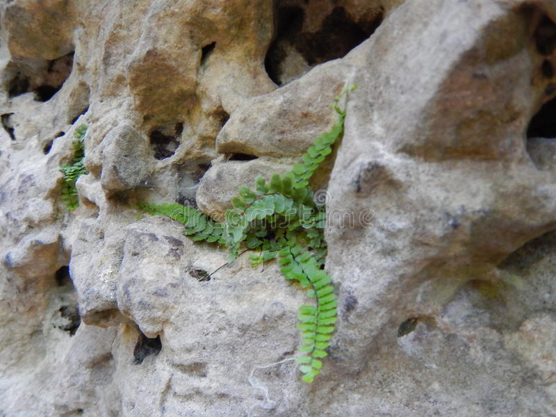 Detail of a green plant growing in a hole in a rock royalty free stock photos