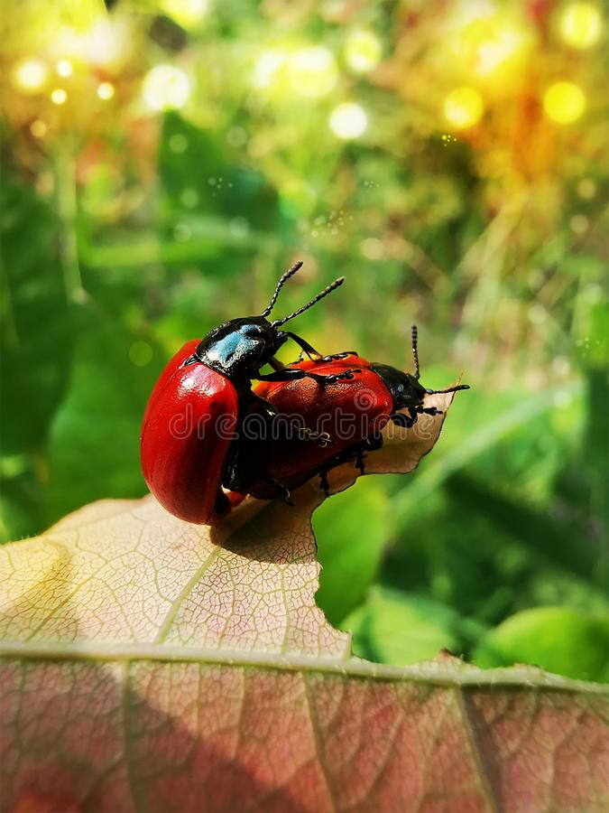 Detail of happy red beetles stock image