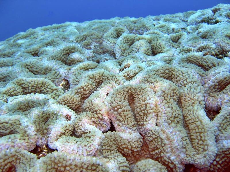 Detail - Hard Coral stock photos