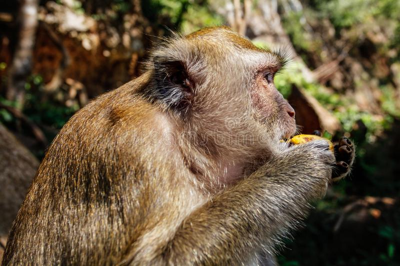 Detail on head of long-tailed macaque monkey Macaca fasciculari. S eating a banana from tourist. Khao Sok, Thailand royalty free stock photos