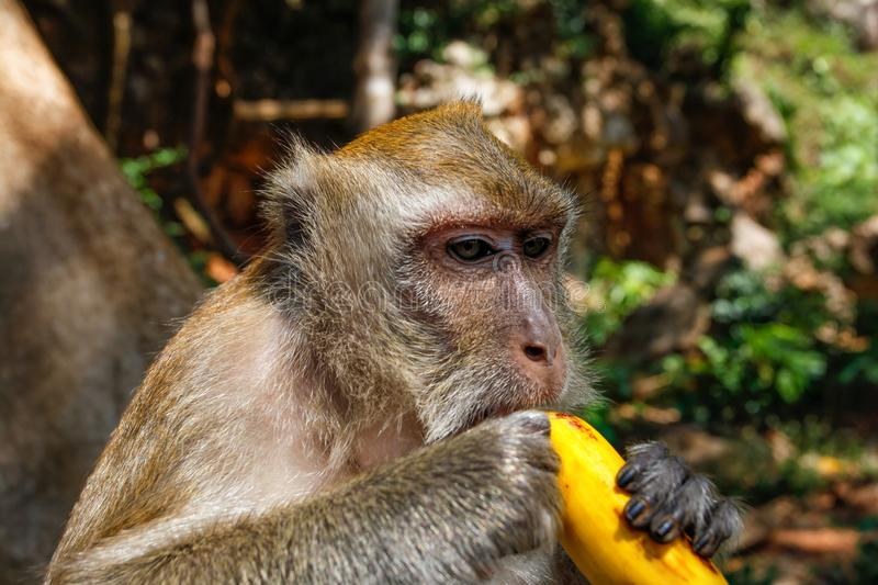 Detail on head of long-tailed macaque monkey Macaca fasciculari. S eating a banana from tourist. Khao Sok, Thailand stock images