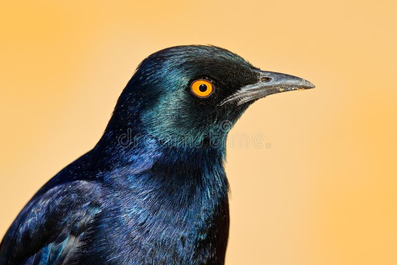 Detail head portrait of bird with orange eye. Pale-winged starling, Onychognathus nabouroup. Glossy Starling from the Etosha,. Namibia. Beautiful shiny bird stock photography