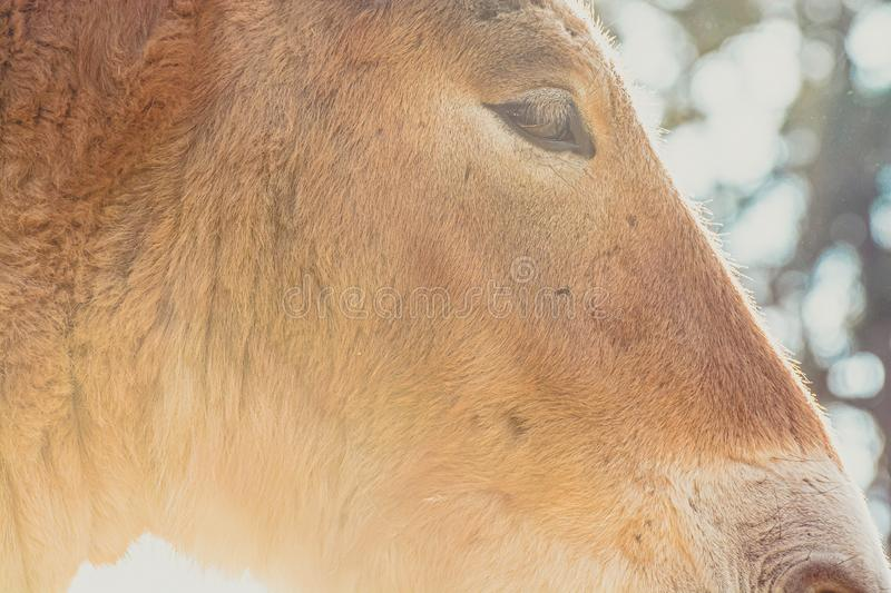 Detail of head of Przewalski horse in sunset, Zoo Prague, Czech Republic royalty free stock photography