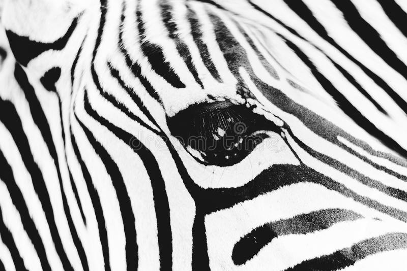 Detail of head zebra in ZOO royalty free stock images