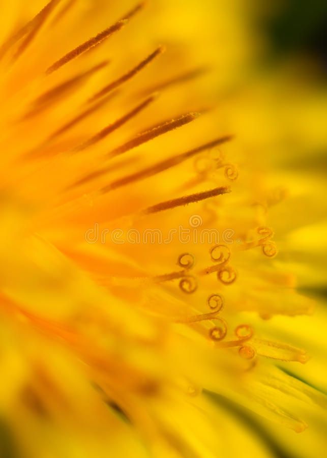 Detail of Heart of Dandelion stock photos