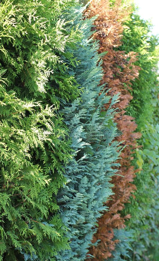 Colorful thujas. Detail of hedge made of thuja cultivars of several different colors stock photos