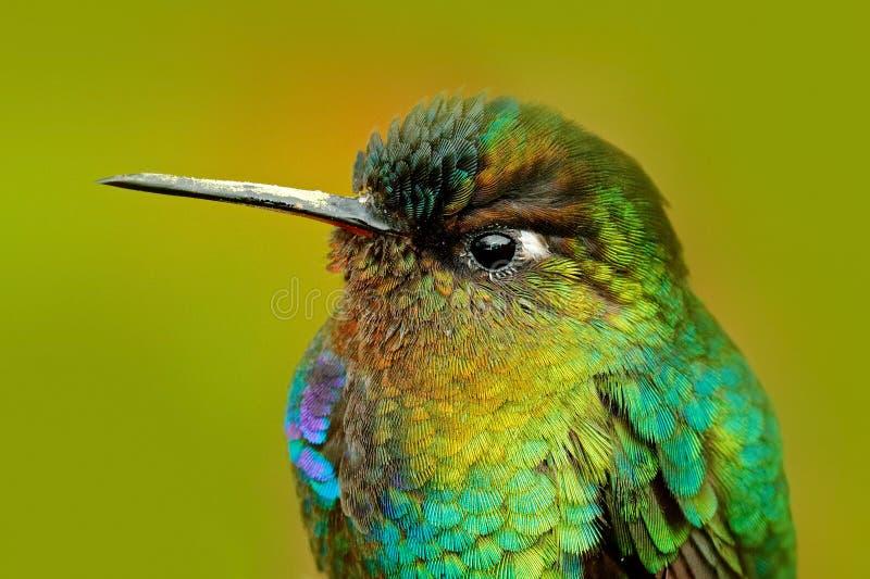 Detail of hummingbird glossy plumage. Fiery-throated Hummingbird, Panterpe insignis, colour bird sitting on larch branch. Mountain. Bird royalty free stock photos